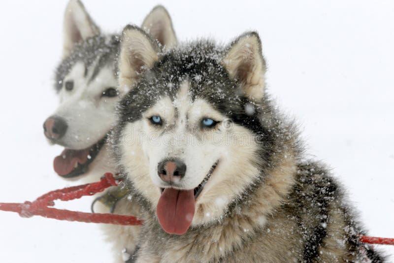Собака скелетона сибирской лайки стоковое фото rf