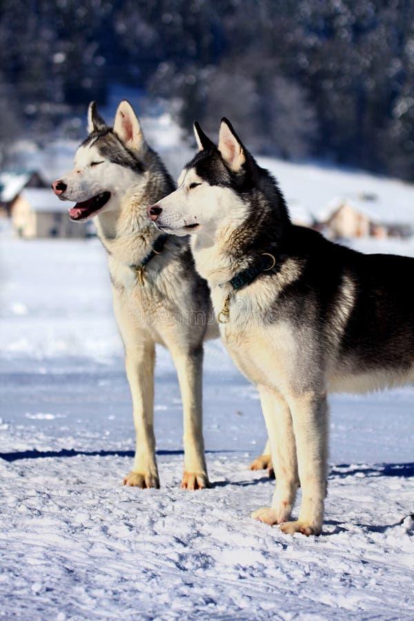 Собака скелетона сибирской лайки стоковые фото