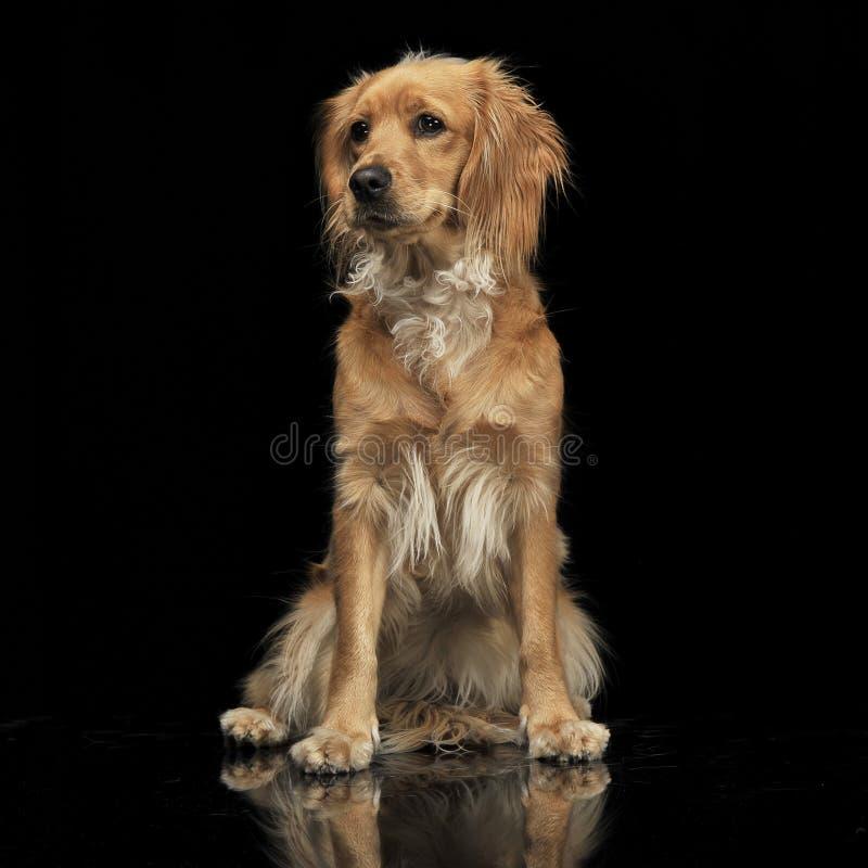 Собака смешанного коричневого цвета породы смешная в темной студии стоковые фотографии rf