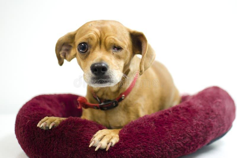 Собака смешивания чихуахуа пропуская один глаз, фотографию принятия приюта для животных стоковая фотография rf