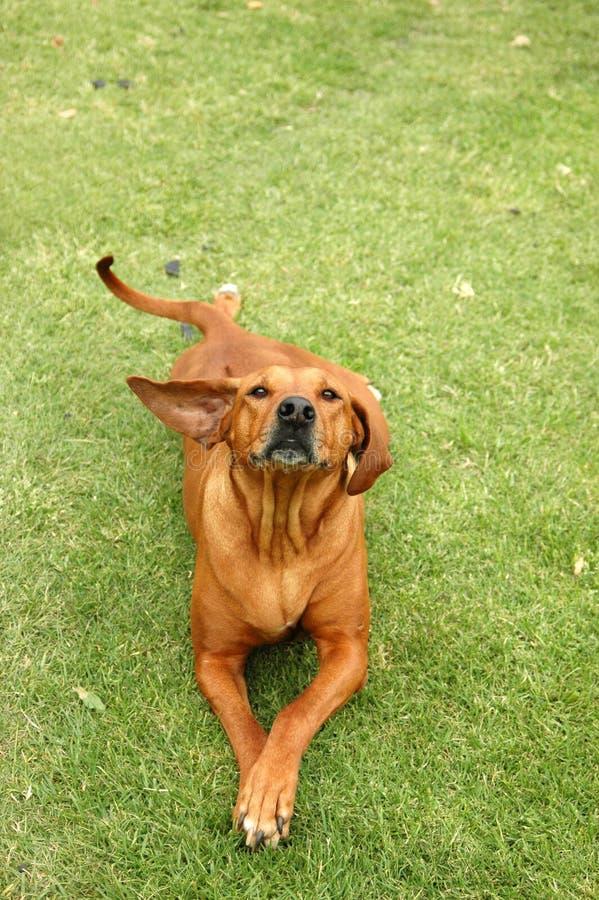 собака смешная стоковое изображение