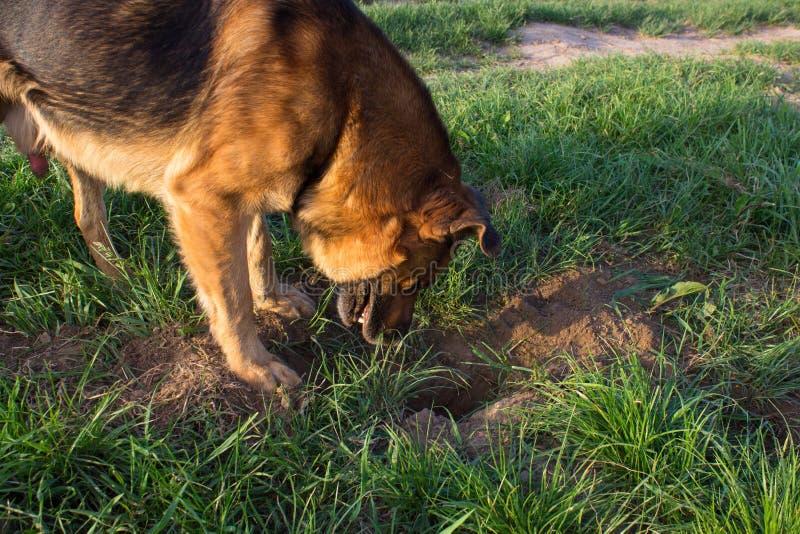 Собака смотрит к земле в яме, собака выкапывает яму и ждет мышь, смотрит яму стоковые фото