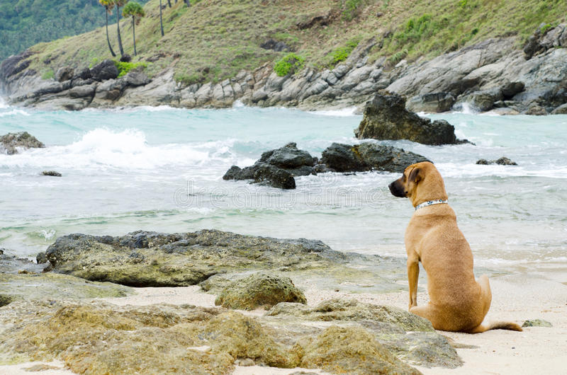 Собака смотрит море стоковые фотографии rf