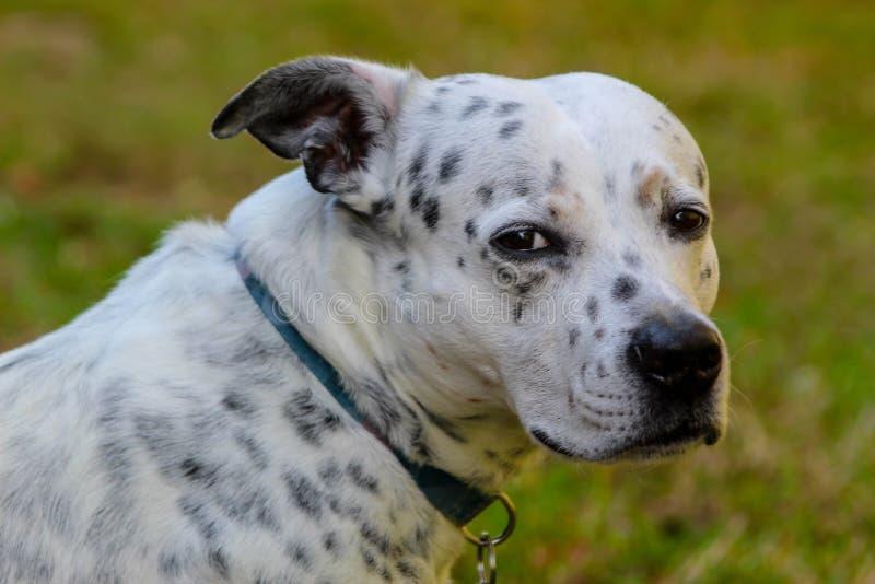 Собака смотря к горизонту, грустный, охотясь стоковая фотография rf