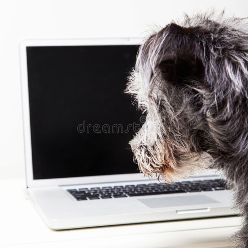 Собака смотря пустой экран компьютера стоковое изображение rf