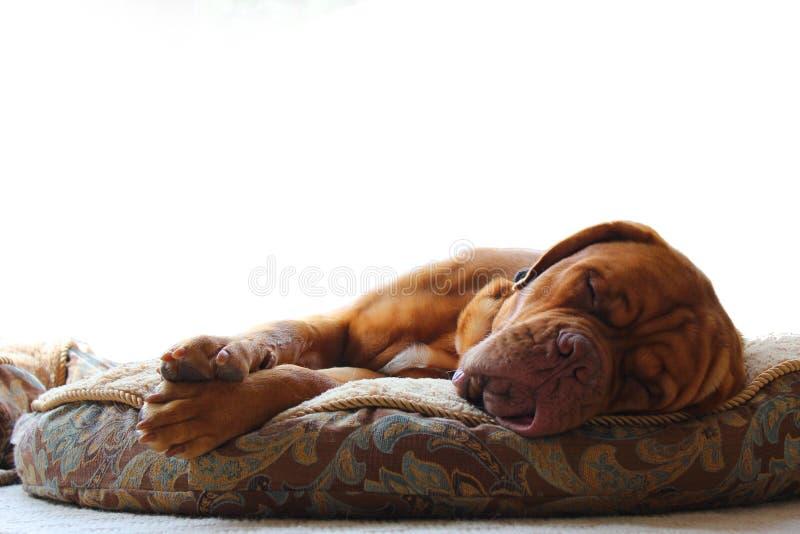 собака сонная стоковая фотография rf