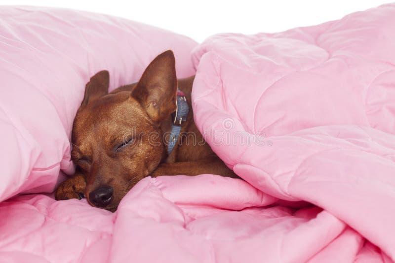 Собака спать в кровати стоковая фотография rf