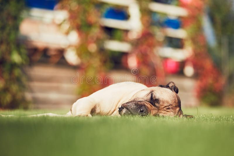 Собака спать в саде стоковое изображение rf