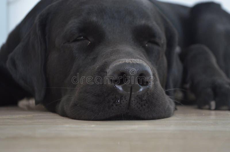 Собака спать милая labrador стоковое изображение rf