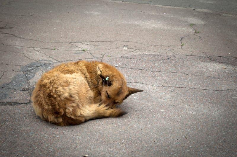 Собака спит на дороге в утре стоковые фотографии rf