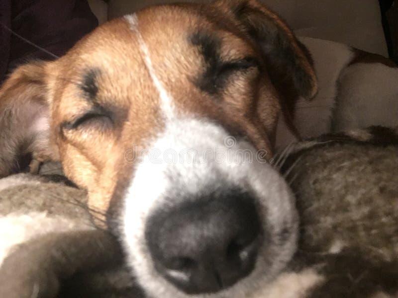 Собака спит стоковая фотография