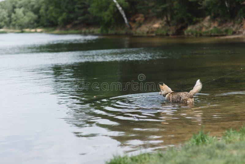 Собака стоит в воде озера Сибирская лайка Горячая концепция лета стоковое фото