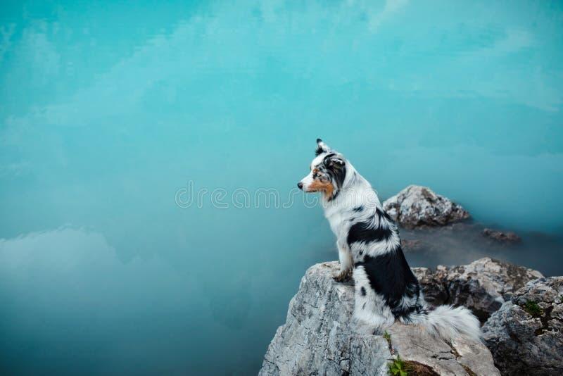 Собака стоит на камне на голубом озере в горах Австралийский чабан в природе перемещение любимчика стоковые фотографии rf