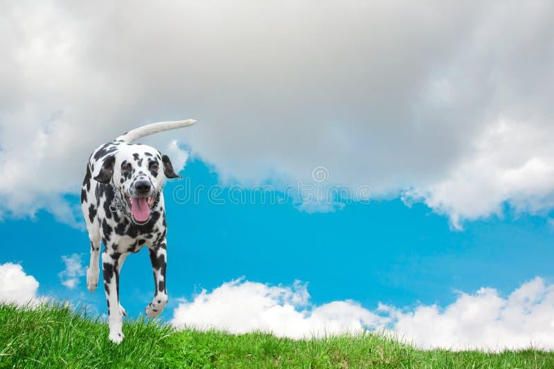 Собака счастливо бежать вдоль поля стоковое изображение