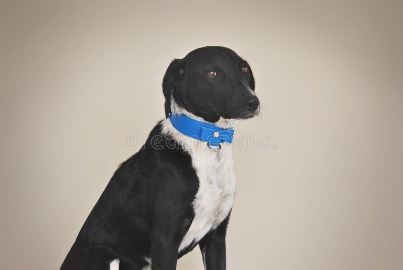 Собака с голубым смычком стоковые фотографии rf
