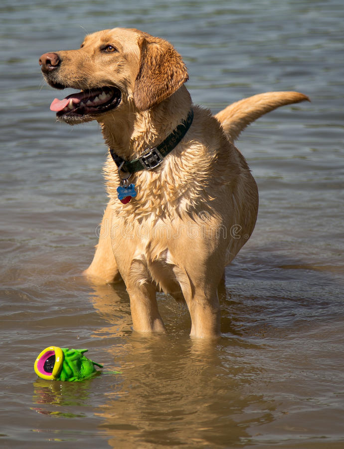 Собака с игрушкой стоковые фотографии rf