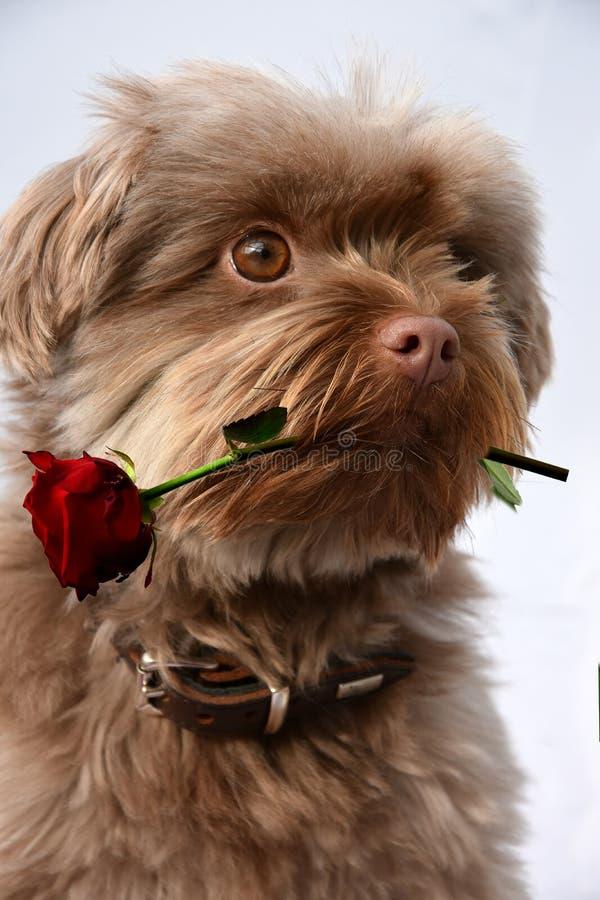 Собака с красной розой стоковое фото rf