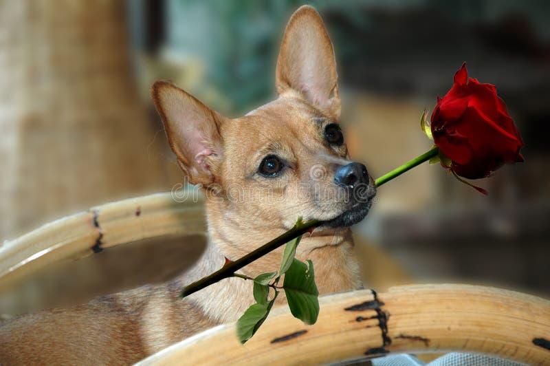 Собака с красной розой стоковые изображения rf