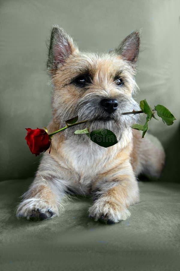 Собака с красной розой стоковые фотографии rf