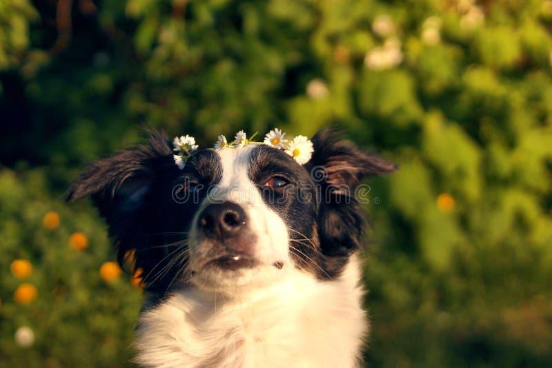 Собака с кроной цветка стоковое изображение rf