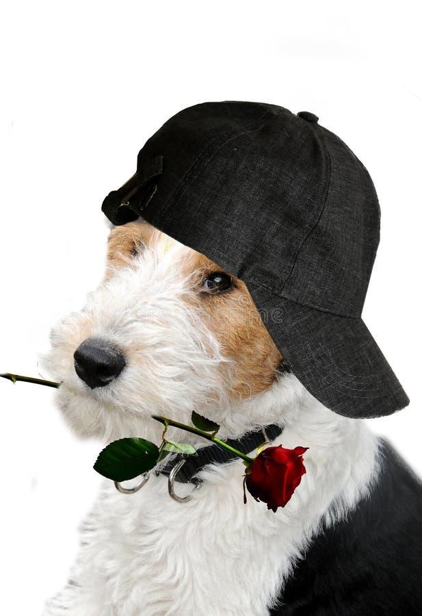 Собака с крышкой и подняла стоковое фото