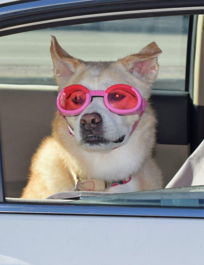 Собака с стеклами в окне автомобиля стоковые изображения rf