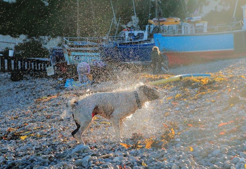 собака с трястить воду стоковые фото
