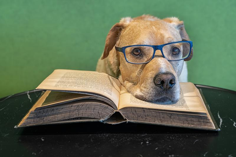 Собака с eyeglasses лежа на открытой большой книге Уставший читатель Исследование для экзаменов стоковое фото