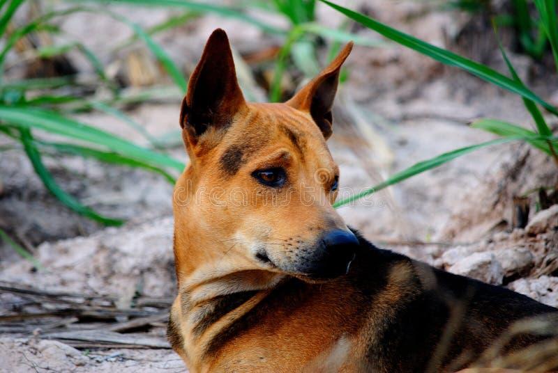 Собака тайская стоковая фотография