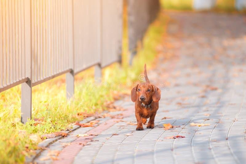Собака таксы бежит вдоль дороги в осени стоковая фотография rf