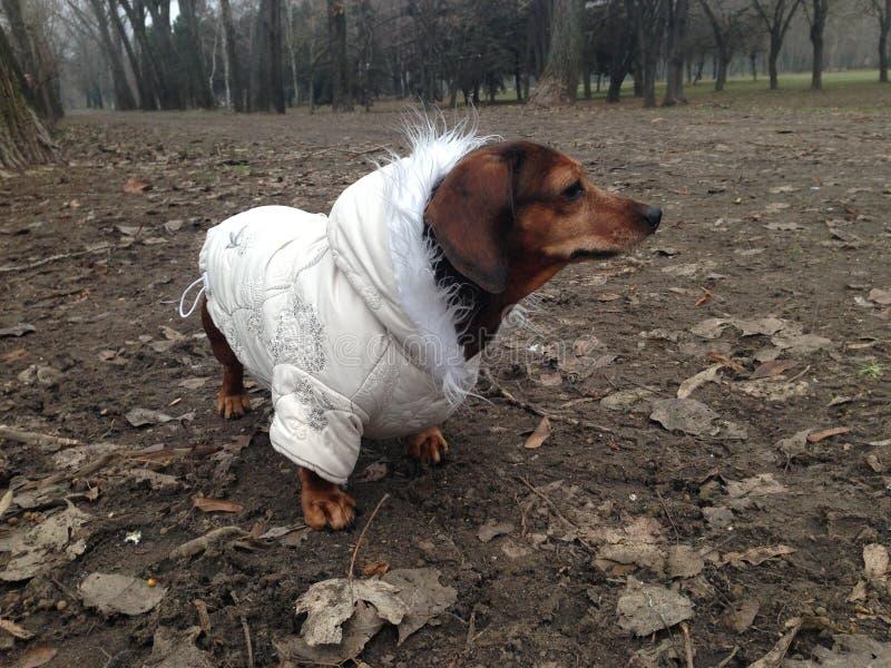 Собака таксы в пальто на парке стоковые фотографии rf