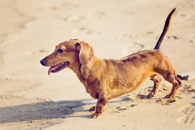 Download Собака таксы в пляже стоковое изображение. изображение насчитывающей вымотано - 33737867