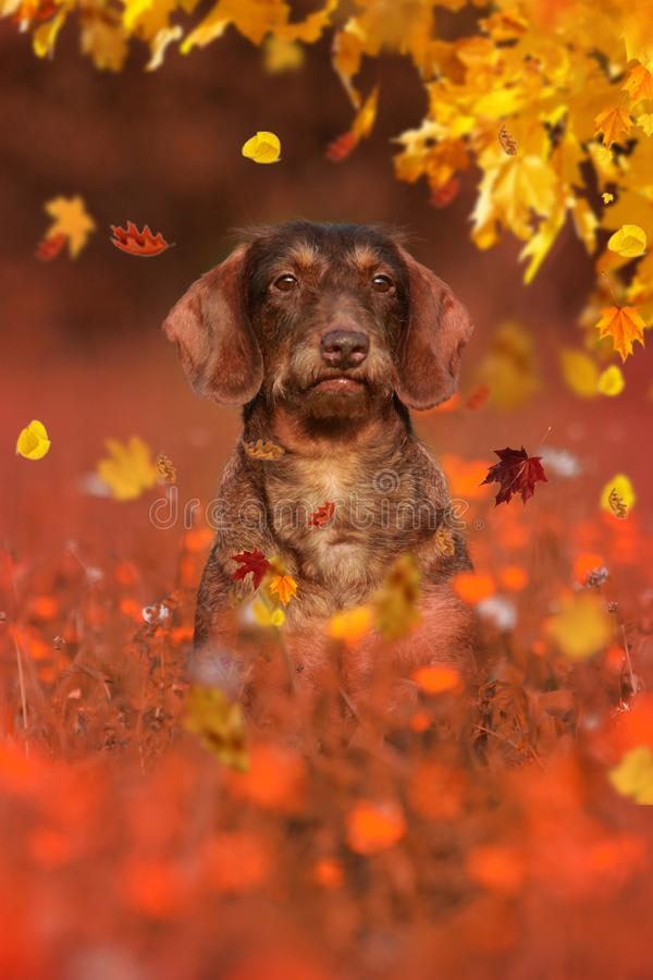Собака таксы сидя в луге осени стоковое фото rf