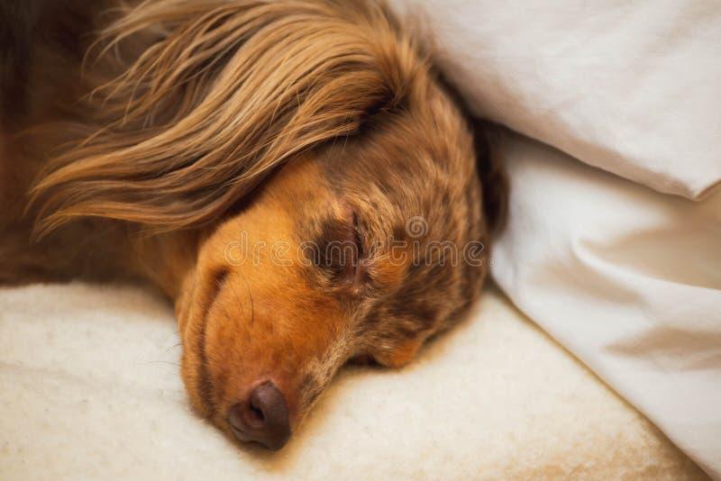 Собака таксы спать на удобном конце кровати вверх стоковое изображение