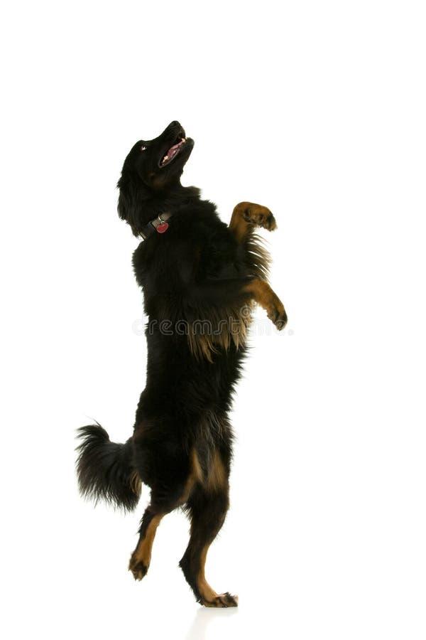 собака танцы стоковое фото rf