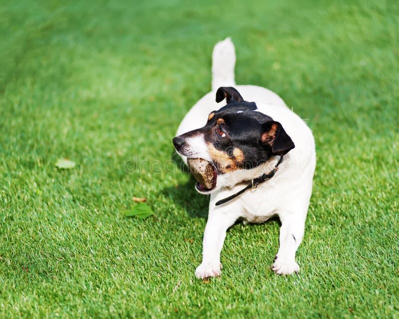 Download Собака терьера Джека Рассела на предпосылке природы Стоковое Изображение - изображение насчитывающей щенок, собач: 81814425