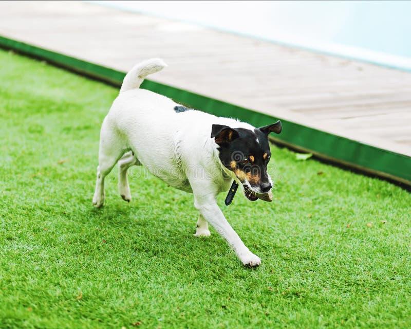 Download Собака терьера Джека Рассела на предпосылке природы Стоковое Фото - изображение насчитывающей doggy, собака: 81814650