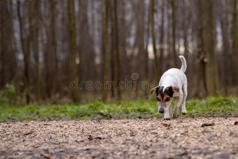 Собака терьера Джек Рассела милая следовать следом стоковые изображения rf
