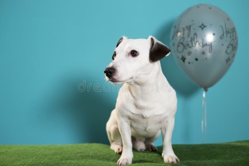 Собака терьера Джек Рассела с воздушным шаром с днем рождений на предпосылке бирюзы стоковое изображение rf