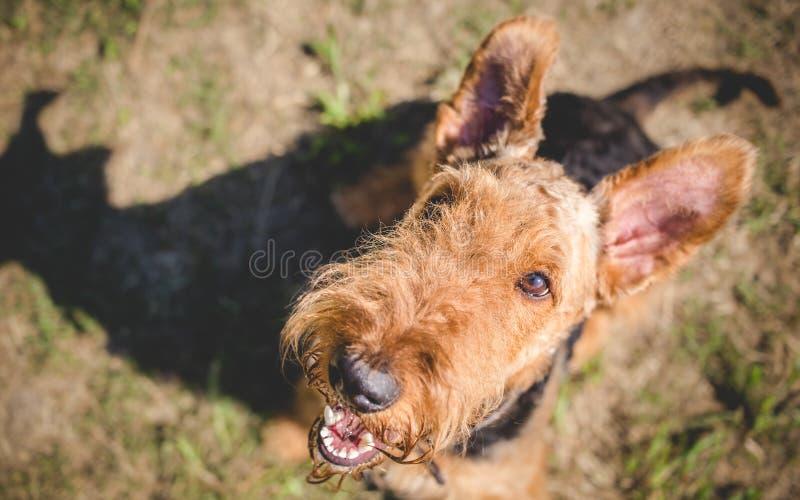 Собака терьера Airedale стоковая фотография rf