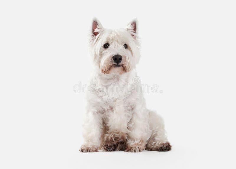 Собака Терьер западной гористой местности белый на белой предпосылке стоковая фотография rf