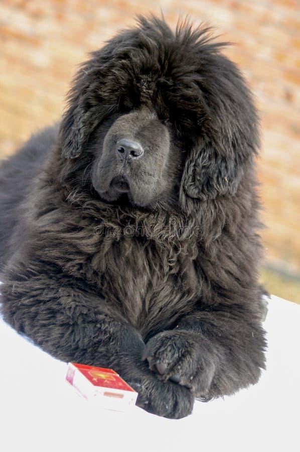 Собака тибетского Mastiff стоковые фотографии rf