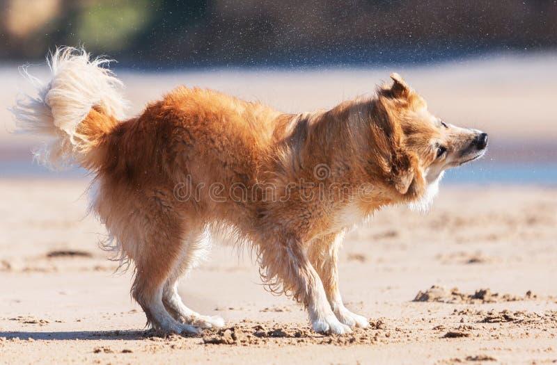 Собака тряся на пляже стоковые фото