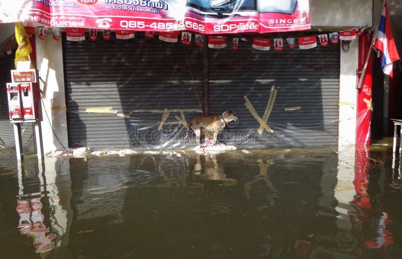 Собака улицы пробует держать сухой в затопленной улице в Rangsit, Таиланде, в октябре 2011 стоковое фото rf