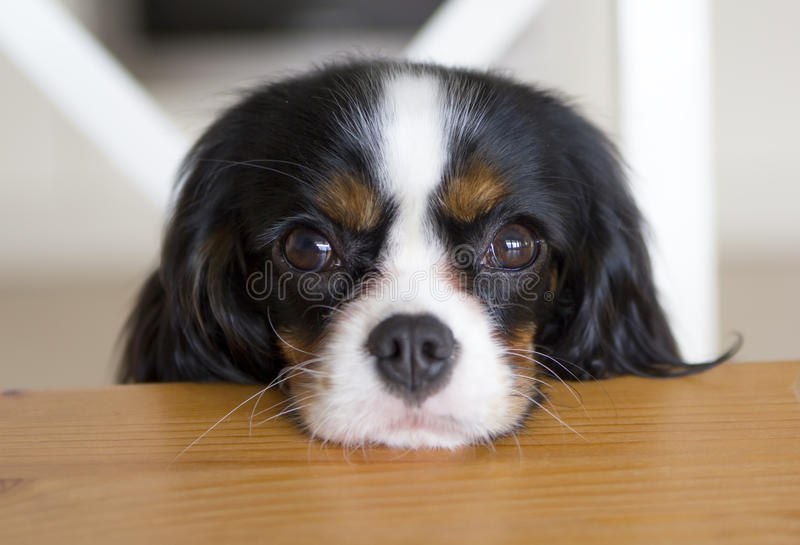 Собака умоляя для еды стоковая фотография rf