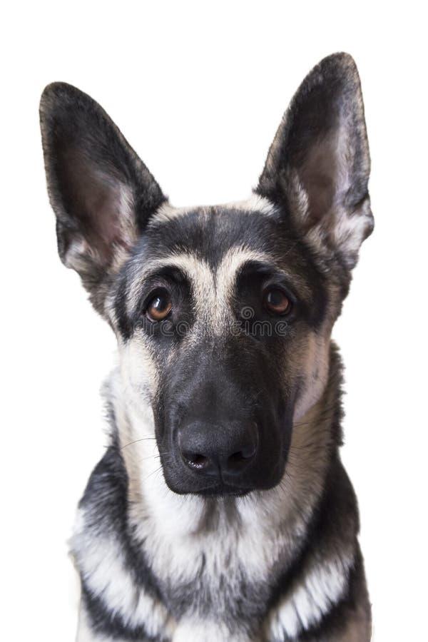 Собака удивленная портретом на белой предпосылке восточно-европейское стоковое фото rf