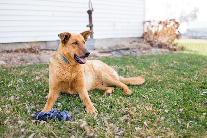Собака фермы немецкой овчарки стоковые фото