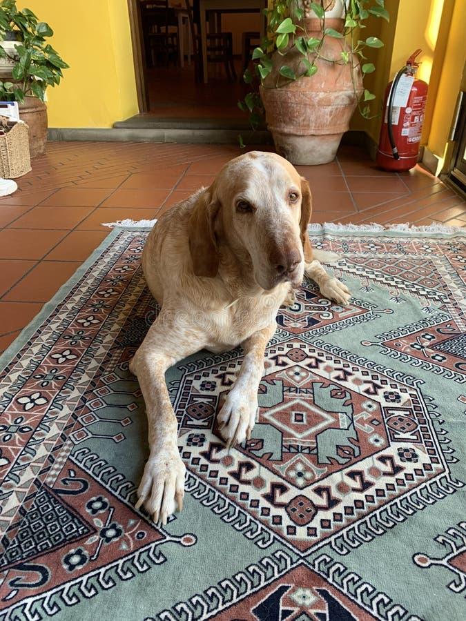 Собака цвета взрослой большой смешанной породы золотая кладя вниз на ковер в доме стоковые изображения rf