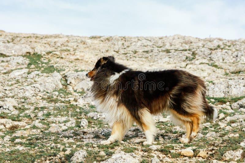 Собака чабана идет в горы, конец-вверх стоковые изображения rf