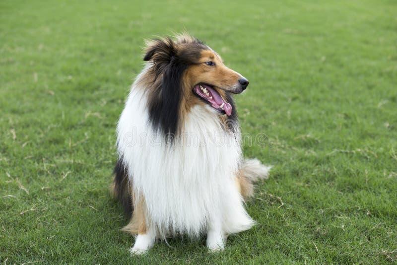 Собака чабана чабана стоковые изображения rf